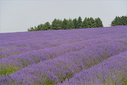 Lavender Field, The Cotswolds