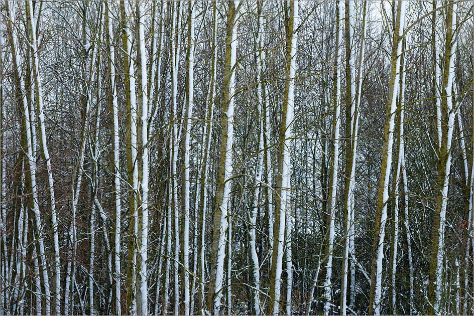 Ash Trees in Snow