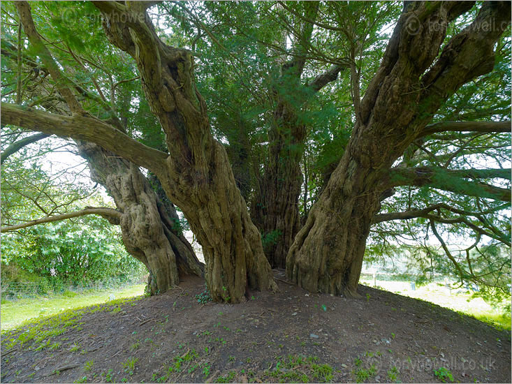 Ashbrittle Yew Tree, 3,000 years old