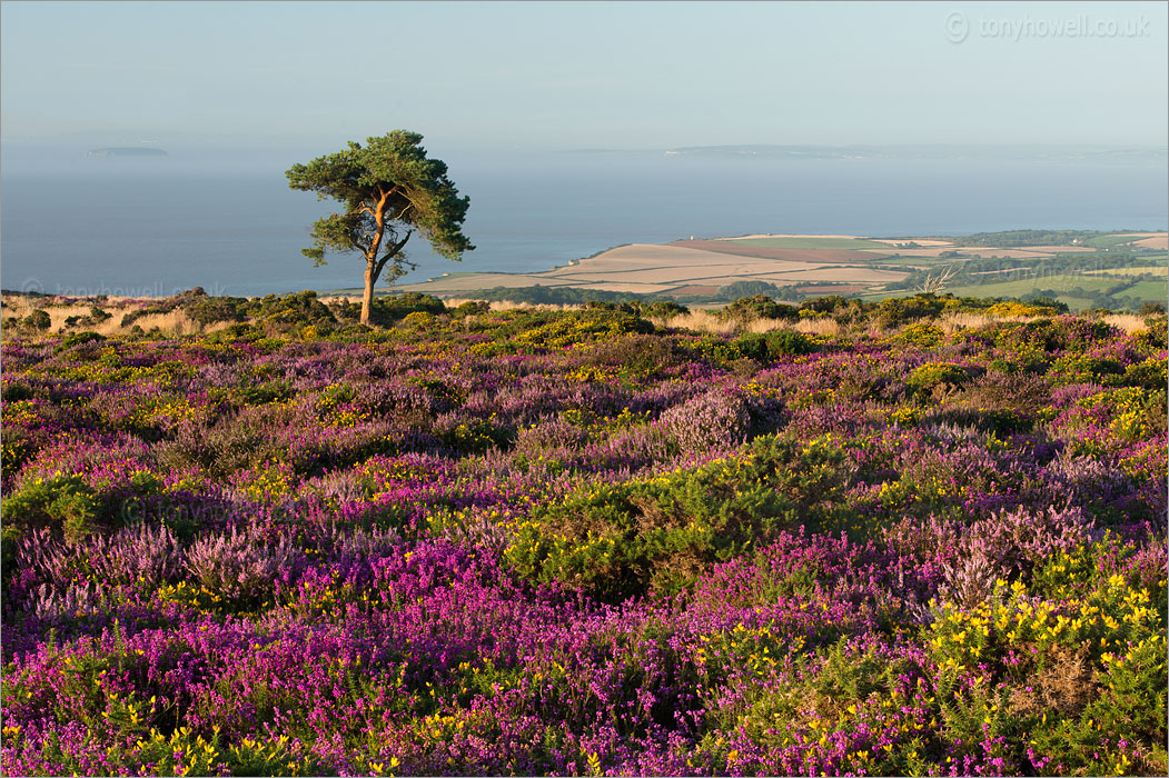 Heather, Steep Holm