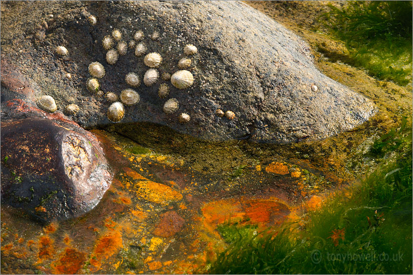 Limpets, Rockpool, Porth Nanven