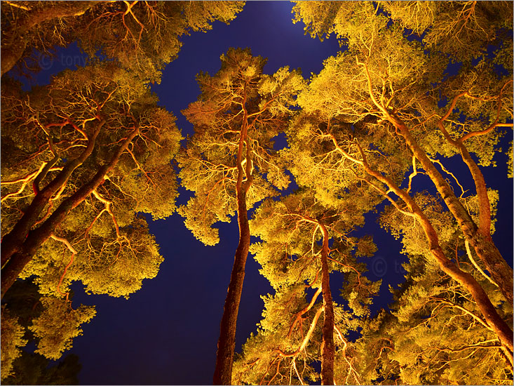 Scots Pine Trees, Night