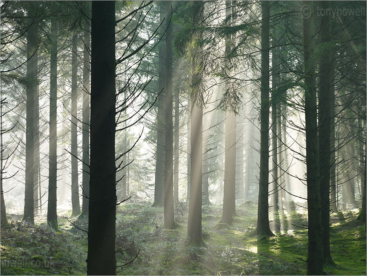 Sunrays through Mist, Pine Trees
