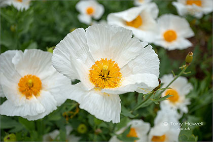 Californian-Tree-Poppy-Romneya-coulteri-5697