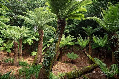Tree-Ferns-Trewidden-Gardens-Cornwall-5705