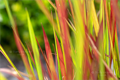 Japanese-Blood-Grass-Imperata-cylindrica-5730