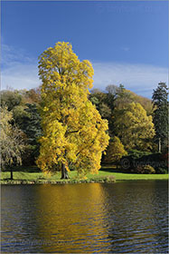 Tulip Tree, Stourhead