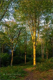 Beech-Tree-Idless-Woods-Cornwall