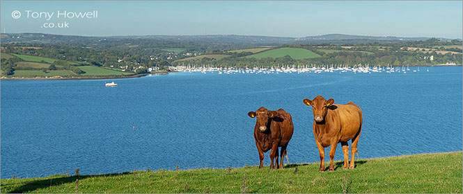 Cows-Mylor-Carrick-Roads-Cornwall