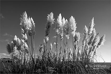 Pampas-Grass-Cortaderia-selloana