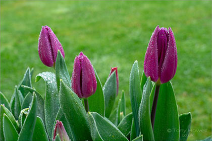 Tulips-Pink