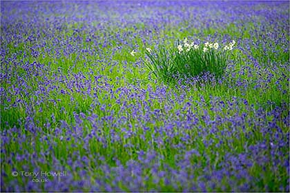 Bluebells-Enys-Gardens-Cornwall