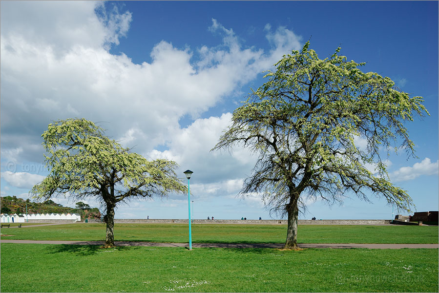 Elm Trees in flower, Paignton