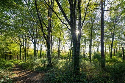 Idless-Woods-Beech-Trees-Truro-Cornwall