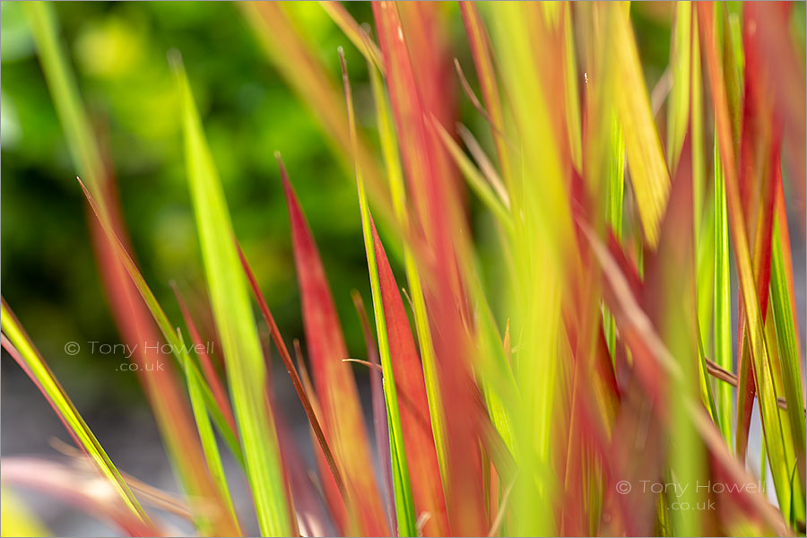 Japanese Blood Grass, Imperata cylindrica
