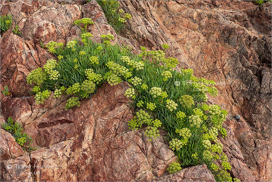 Rock Samphire in flower
