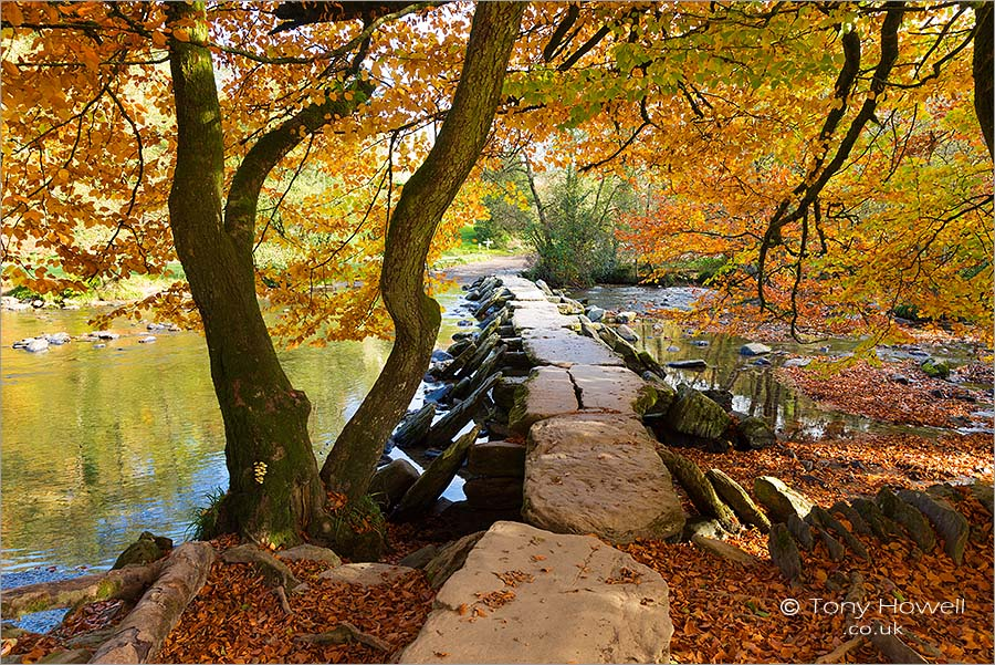 Tarr Steps, Beech Tree
