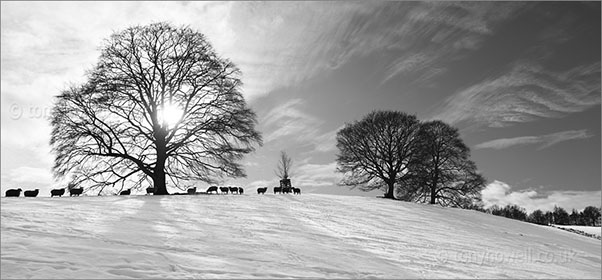 Trees, Sheep, Snow, Cotswolds