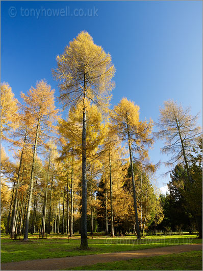 Larch Trees, Autumn