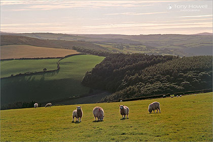 Sheep, Exmoor