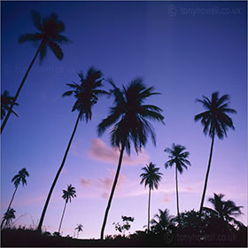 Tree photography - Palm Trees, Dusk