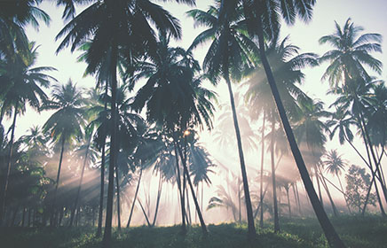 Palm Trees, Dawn