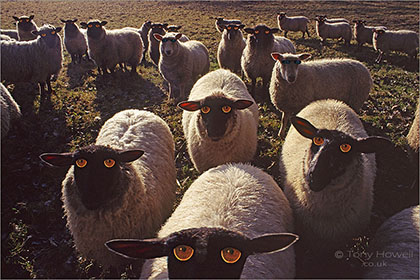Sheep with Human Eyes