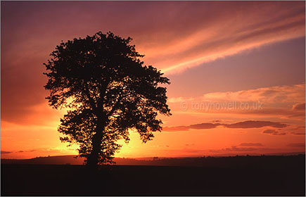Tree, sunset, Marksbury near Bath